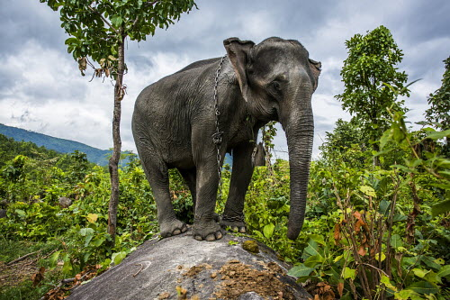 Myanmar's Elephants Under Threat